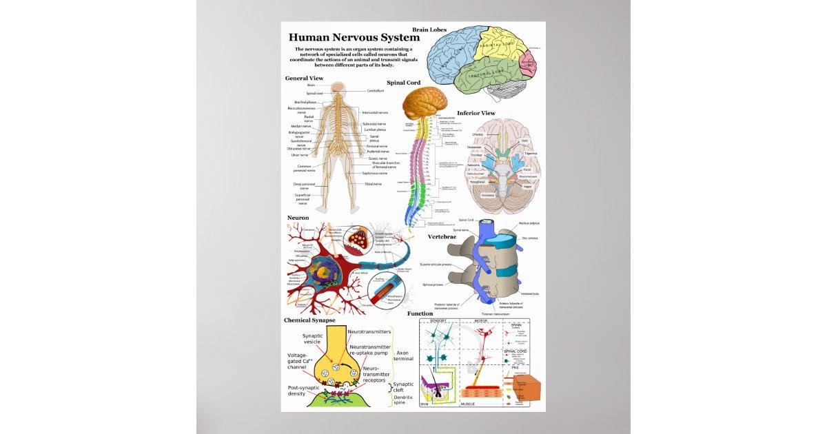Tolle Zentralnervensystem Diagramm Fotos - Menschliche Anatomie ...