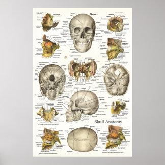 Menschliches Schädel-Anatomie-Diagramm 24 x 6 Poster