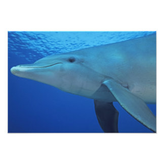 Mexiko, Cozumel. Bottlenosed Delphin, Tursiops 5 Kunstfotos