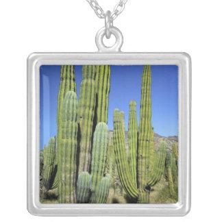 Mexiko, Sonora, San Carlos. Saguaro u. Orgelpfeife Versilberte Kette
