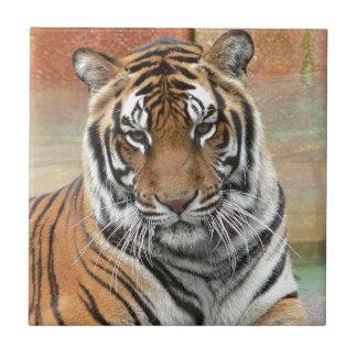 Mieten Tigres in der Betrachtung Fliese
