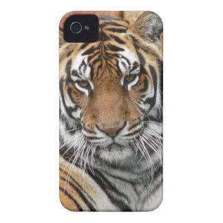 Mieten Tigres in der Betrachtung iPhone 4 Case-Mate Hüllen
