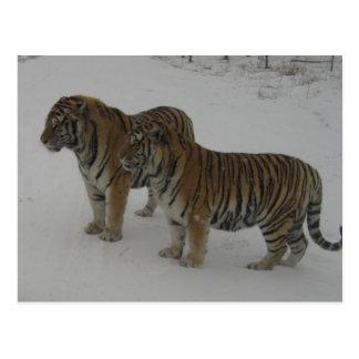 Mieten zwei sibirische Tiger Postkarte