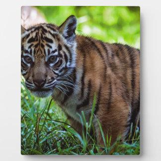 MieteSumatran Tiger CUB Fotoplatte