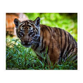 MieteSumatran Tiger CUB Postkarte