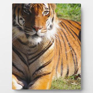 Mietmalaiischer Tiger Fotoplatte