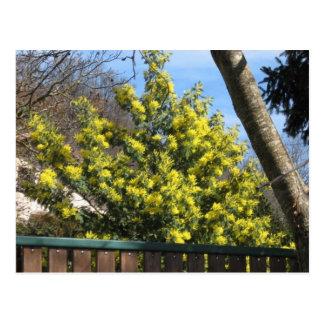 Mimosen-Baum Postkarte