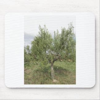 Mittelmeerolivenbaum in Toskana, Italien Mousepad