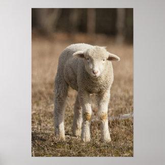 Mittelpennsylvania USA inländische Schafe Ovis Plakat