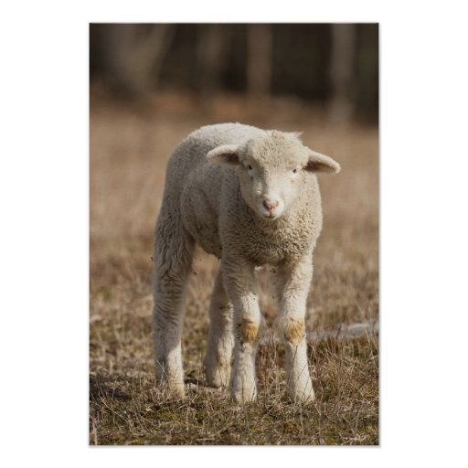 Mittelpennsylvania, USA, inländische Schafe, Ovis Plakat