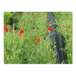 Mohnblumen, die auf Zuteilung überwältigen Postkarte