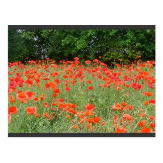 Mohnblumen im Frühjahr Postkarte