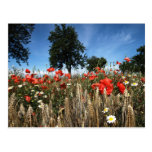 Mohnblumen im Kornfeld Postkarten