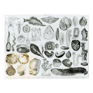 Mollusken Postkarte