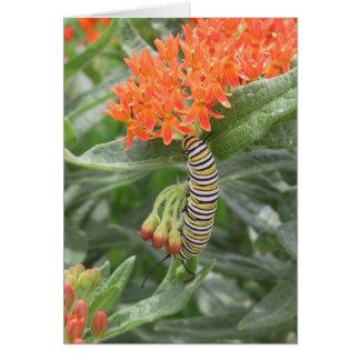 Monarch Catterpillar auf Schmetterlings-Unkraut Karte