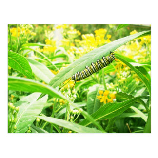 Monarch-Raupe (Danaus plexippus) Postkarte