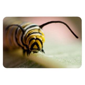 Monarch-Raupe herauf nahen Fotomagneten Magnet