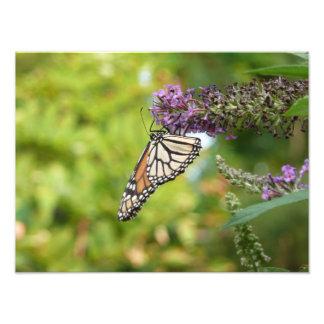 Monarch-Schmetterling auf lila Schmetterling Bush Fotodruck