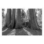 Monarchen des Waldes (Schwarzes u. Weiß) Fotodrucke