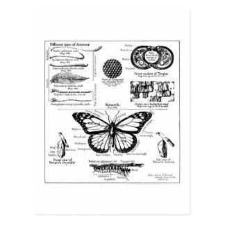 Monarchfalter-Informationen Postkarte