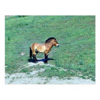 Mongolisches (Przewalskii) wildes Pferd Postkarte