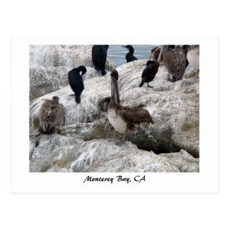 Monterey-Pelikan-Postkarte Postkarte