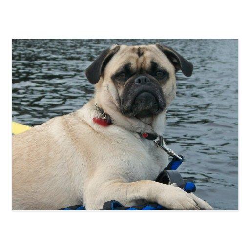 Mops-Hund auf dem Wasser Postkarte