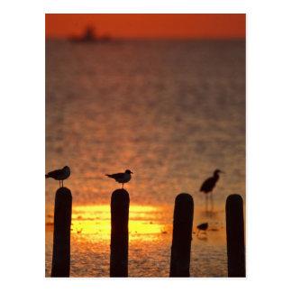 Möven auf Anhäufungen in Laguna Madre, SüdPadre Postkarte