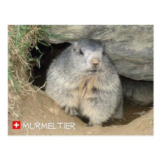 Murmeltier, Schweiz / Marmot, Switzerland Postkarte
