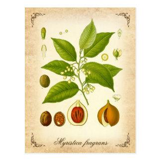 Muskatnuts - Vintage Illustration Postkarte