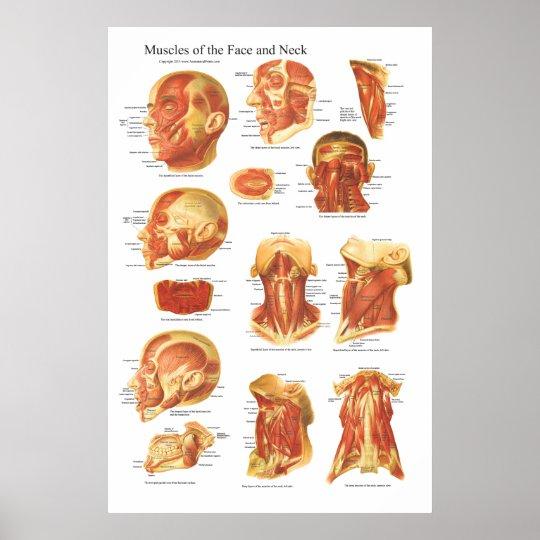 Muskel-Anatomie des Gesichts-und Hals-Diagramms Poster | Zazzle