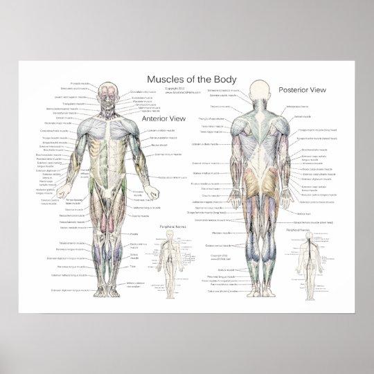 Muskel-Anatomie-Plakat vorhergehend und hinter Poster | Zazzle