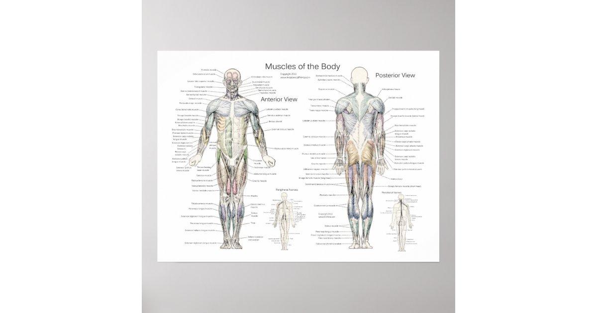 Gemütlich Muskelanatomie Charts Ideen - Anatomie Ideen - finotti.info