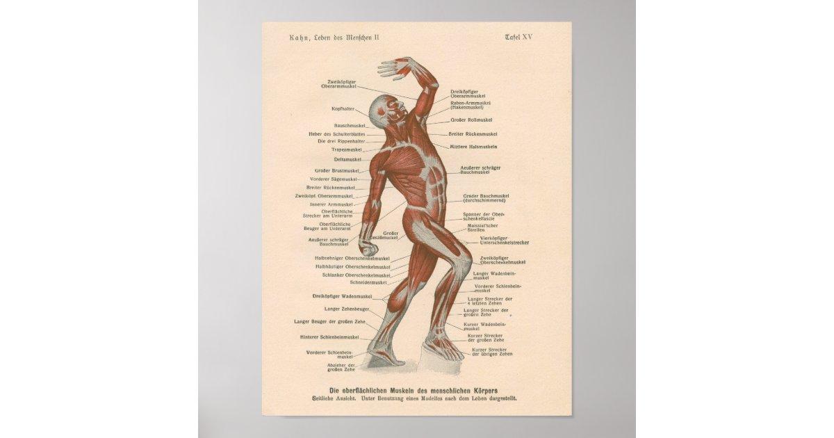 Muskel-Anatomie-Vintager Druck auf Deutsch Poster | Zazzle