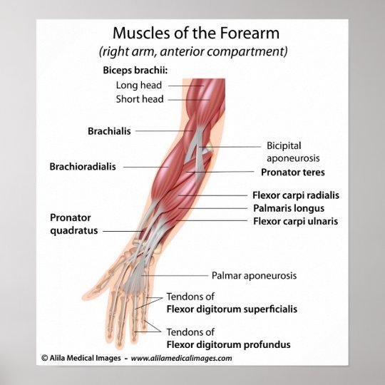 Muskeln des Unterarms, beschriftet Diagramm Poster   Zazzle