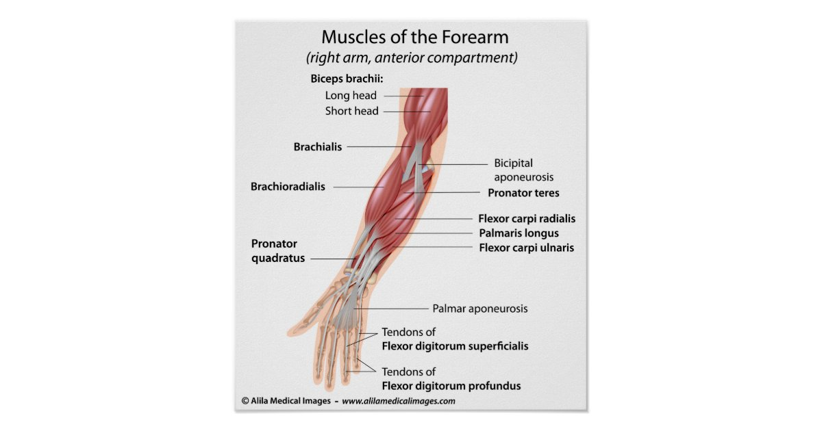 Charmant Diagramm Der Muskeln Des Armes Fotos - Menschliche Anatomie ...