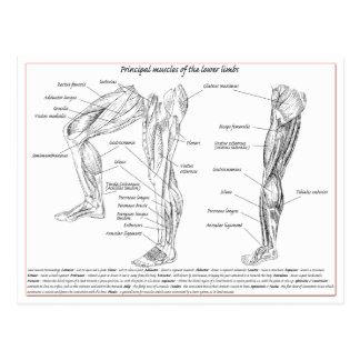 Muskeln des unteren Körpers Postkarte