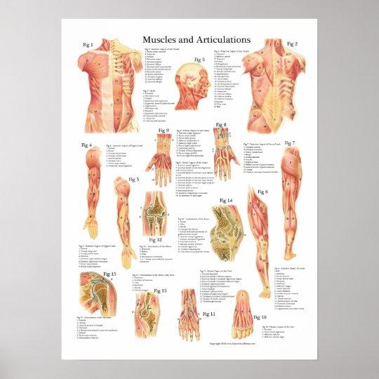 Muskeln und Artikulations-Anatomie-Diagramm Poster | Zazzle
