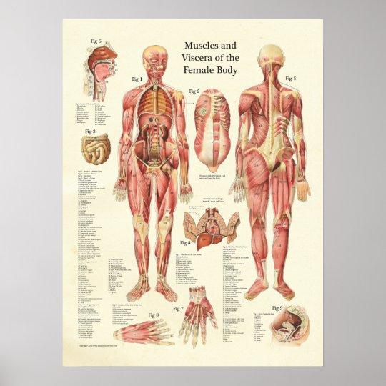 Muskeln und innere Organe des weiblichen Poster   Zazzle