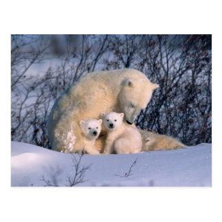 Mutter-Eisbär, der mit Zwillingen sitzt, Postkarte