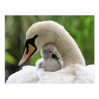 Mutter-und Baby-Schwan Postkarte