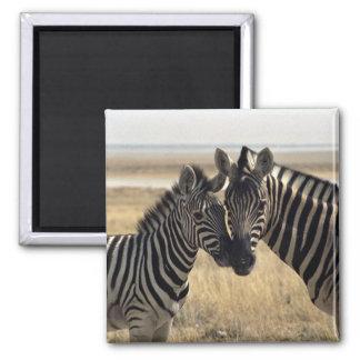 Mutter Zebra und junger Zebra Quadratischer Magnet