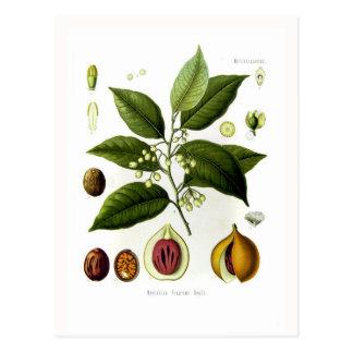 Myristica fragrans (Muskatnuss) Postkarte