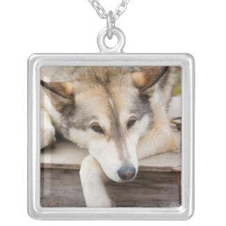 N.A., USA, Alaska. Heisere Schlittenhunde an Versilberte Kette