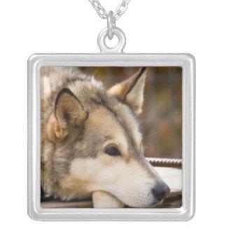 N.A., USA, Alaska. Heisere Schlittenhunde bei 3 Versilberte Kette