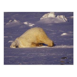 Na, Kanada, Manitoba, Churchill, Eisbär Postkarten