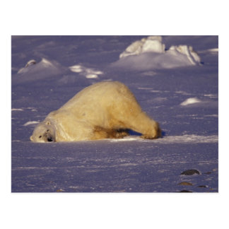 Na, Kanada, Manitoba, Churchill, Eisbär Postkarte