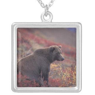Na, USA, Alaska, Denali NP. Ein weiblicher Graubär Versilberte Kette