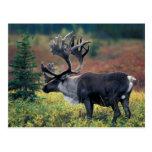 Na, USA, Alaska, Denali NP, Stier-Karibu 3 Postkarten