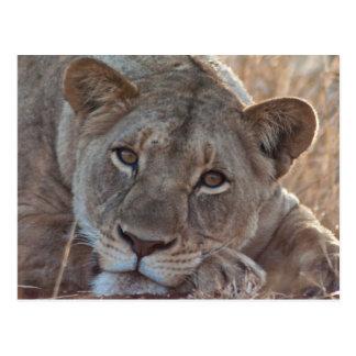 Nachdenkliche Löwe-Postkarte Postkarten